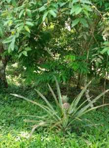 planta de la piña